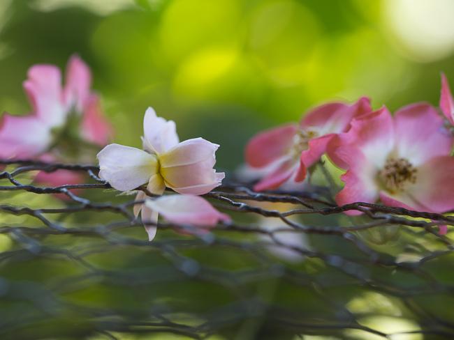 """rose """"Mozart"""""""