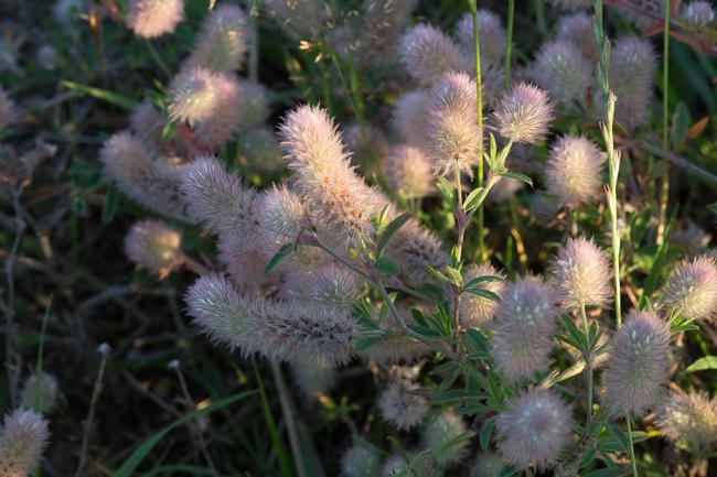 fluffy blossom